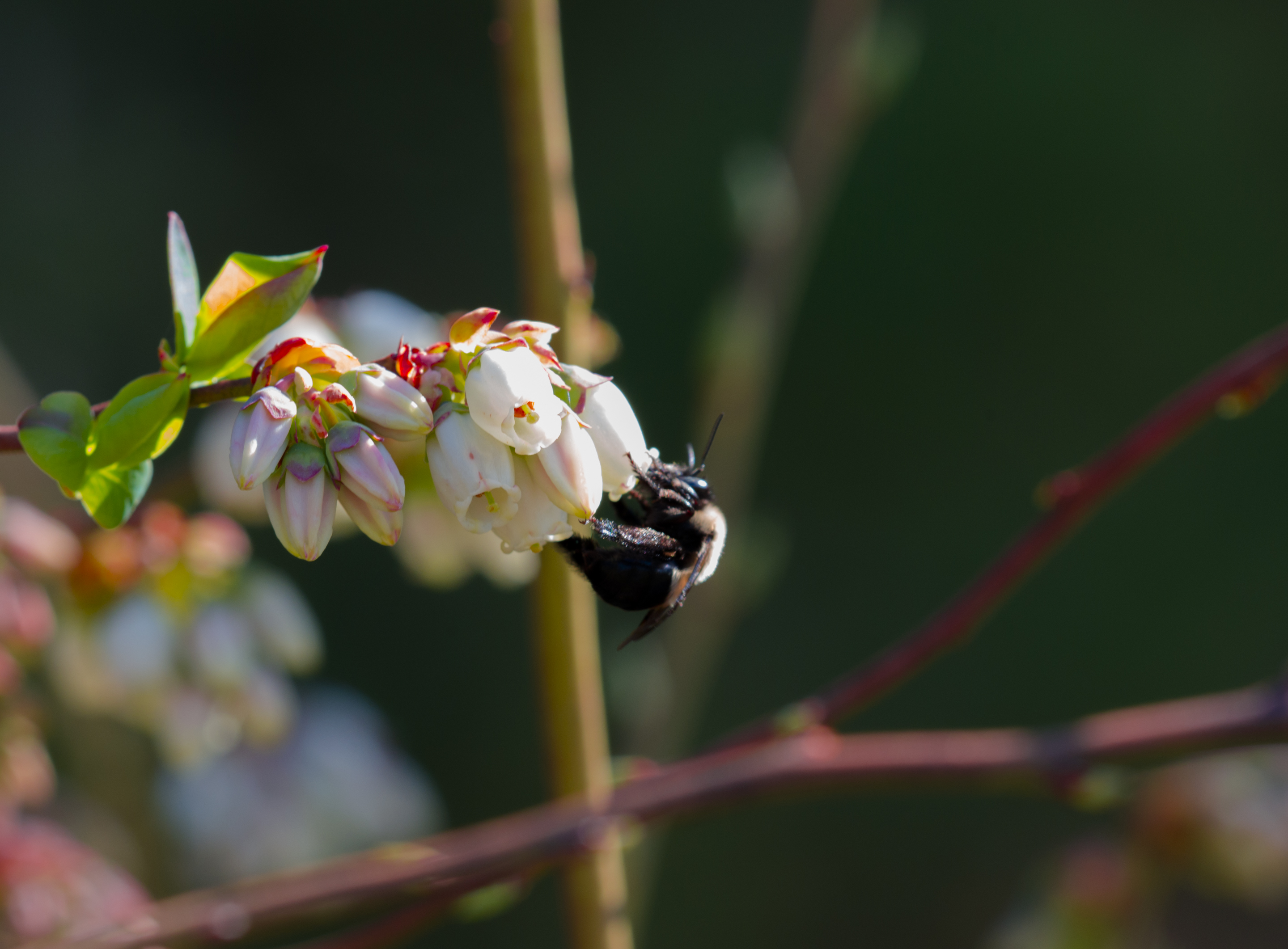 Blueberry buds and bee-1400.jpg